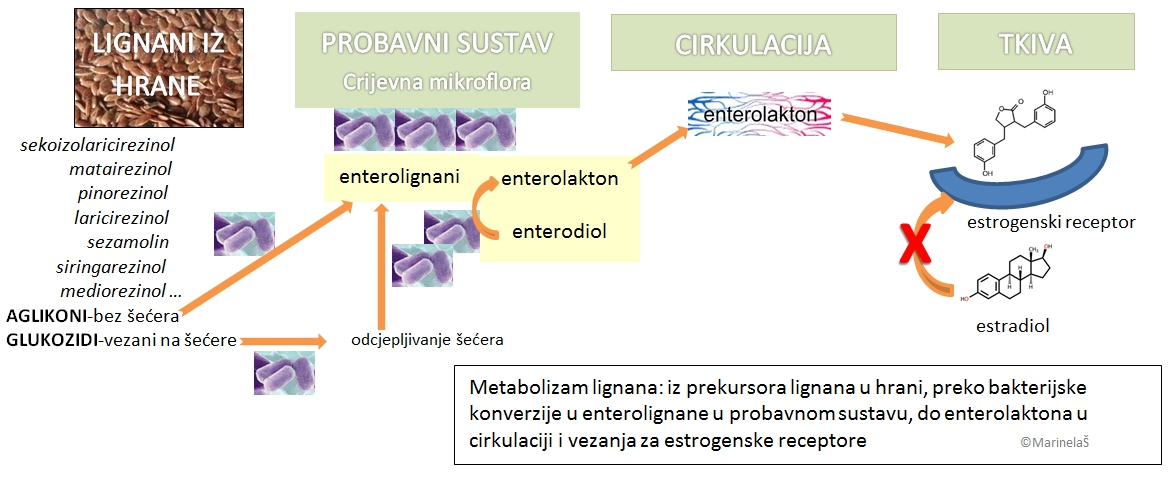 Lignani_metabolizam